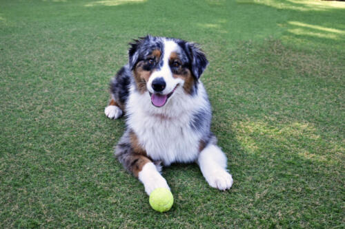Aussie in Play Yard