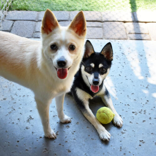 Ghost & Nymeria in Small Dog Group