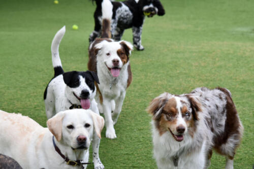 Group Playtime at Applewood Pet Resort