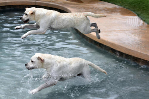 Labs Jumping in Pool