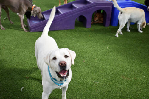 Oscar in Group Play at Applewood Pet Resort