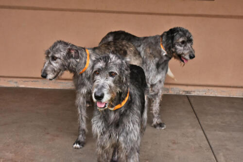 The Wolfhound Gang at Applewood Pet Resort