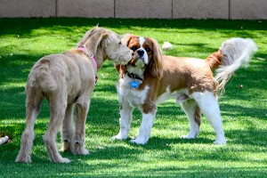 Two Small Dogs in Group Play